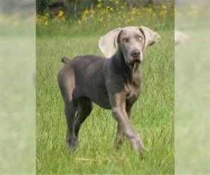 Small #6 Breed Weimaraner image