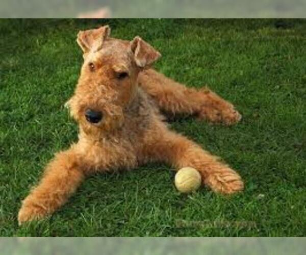 Medium Photo #4 Airedale Terrier Dog Breed