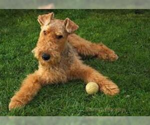 Small Photo #4 Airedale Terrier Dog Breed
