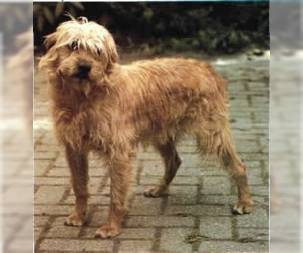 Image of Dutch Smoushond Breed