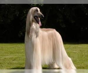 Small Photo #1 Afghan Hound Dog Breed