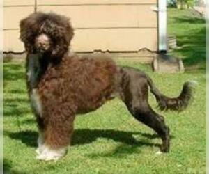 Small Photo #3 Portuguese Water Dog Dog Breed