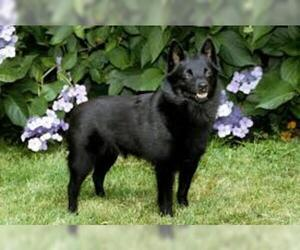Small #4 Breed Schipperke image