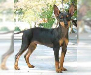 Small #5 Breed Manchester Terrier (Standard) image