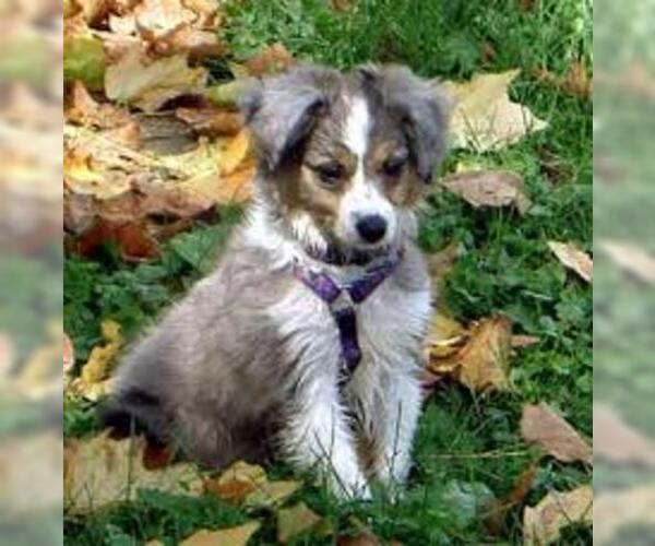 Medium Photo #6 Australian Shepherd Dog Breed