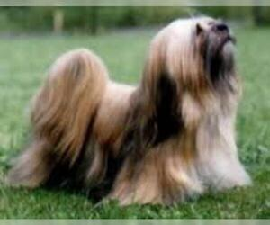Small #2 Breed Lhasa Apso image