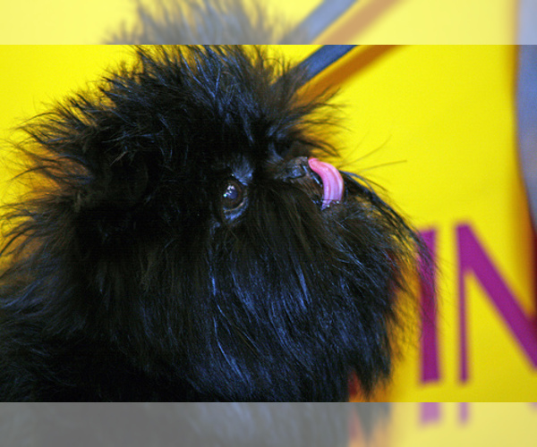 Medium Photo #6 Affenpinscher Dog Breed