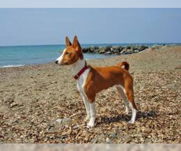 Medium Photo #3 Basenji Dog Breed