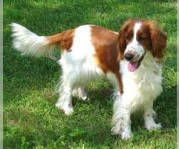 Medium Photo #5 Welsh Springer Spaniel Dog Breed