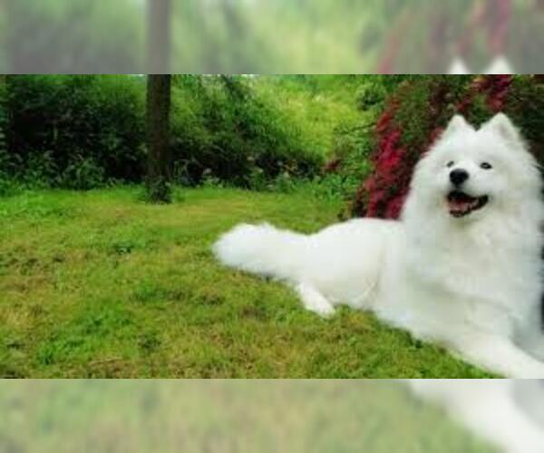 Medium Photo #3 Samoyed Dog Breed