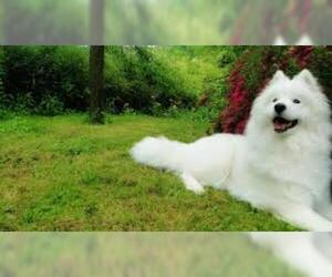 Small #2 Breed Samoyed image