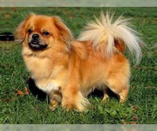 Medium Photo #7 Tibetan Spaniel Dog Breed