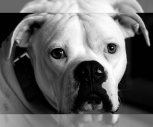 Small #9 Breed American Bulldog image