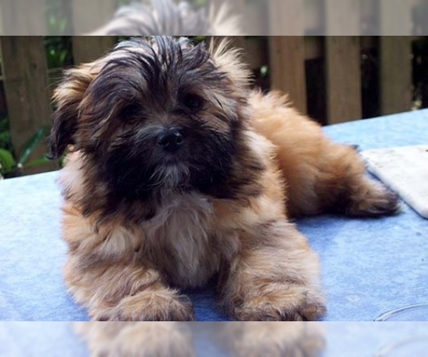 Image of Coton Tzu Breed