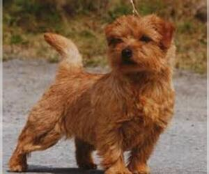 Small #1 Breed Norfolk Terrier image