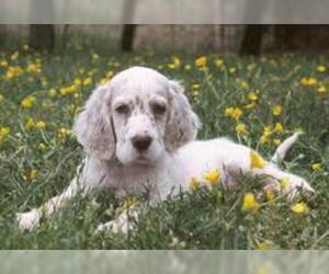 English Setter Breed Information And Pictures On