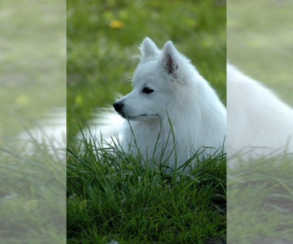 Image of Japanese Spitz Breed