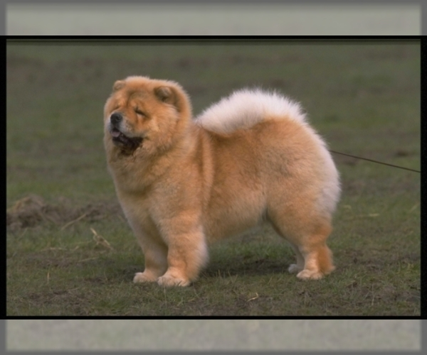 Image of Chow Chow Breed