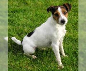 Small #5 Breed Parson Russell Terrier image