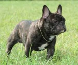 Small #4 Breed French Bulldog image