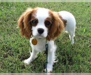 Small #6 Breed Cavalier King Charles Spaniel image