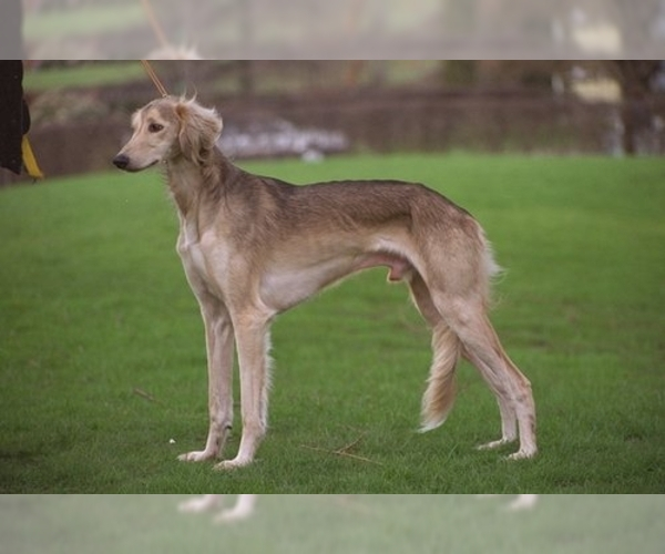 Image of Saluki Breed