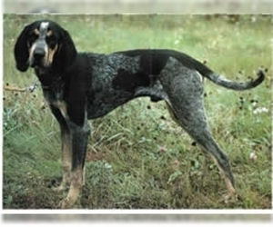 Image of Bluetick Coonhound breed