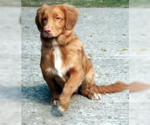 Samll image of Nova Scotia Duck Tolling Retriever
