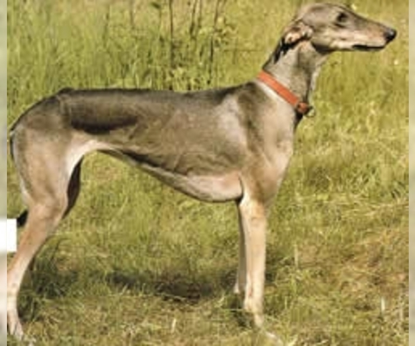 Image of Chortaj Breed