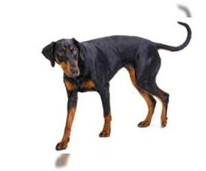 Small #1 Breed Doberman Pinscher image