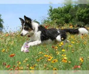 Small #5 Breed Border Collie image