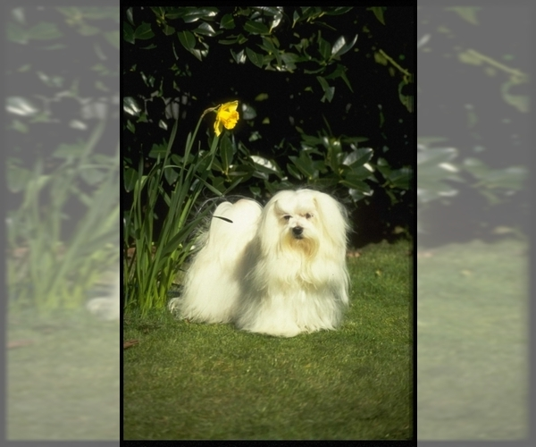 Image of Maltese Breed