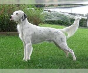 Small #2 Breed English Setter image