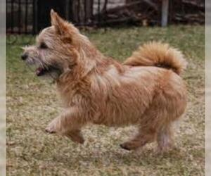 Small #7 Breed Norwich Terrier image