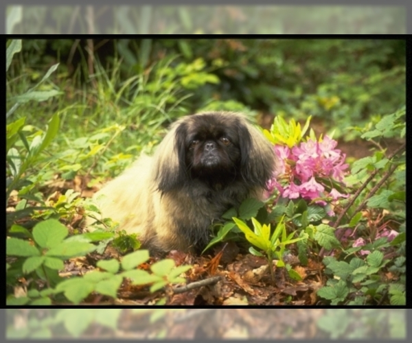 Image of Pekingese Breed
