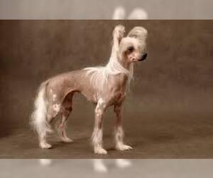Small #3 Breed Chinese Crested image