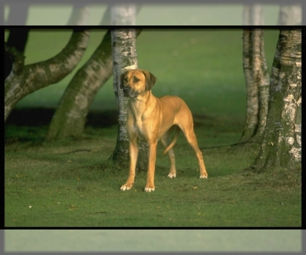 Image of Rhodesian Ridgeback Breed