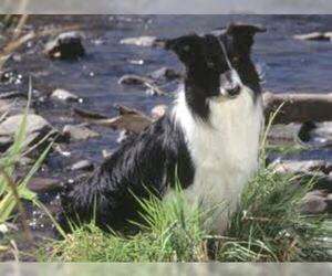 Small #4 Breed Border Collie image