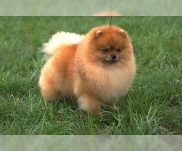 Medium Photo #4 Pomeranian Dog Breed