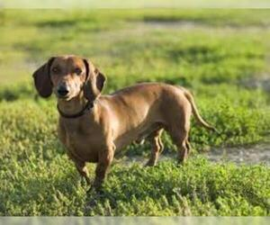 Small #5 Breed Dachshund image