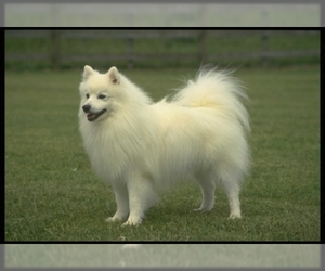 Image of American Eskimo Dog breed