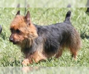 Small #5 Breed Australian Terrier image