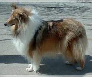 Small #5 Breed Collie image