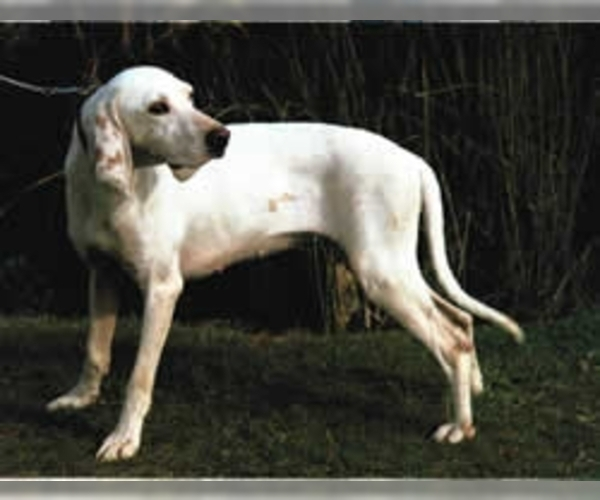Image of Porcelaine Breed
