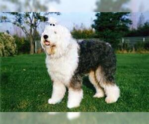 Small #4 Breed Old English Sheepdog image