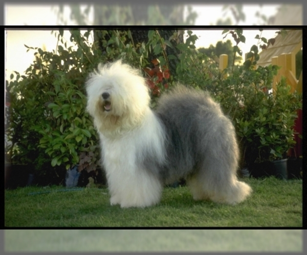 Image of Old English Sheepdog Breed
