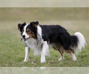 Small #3 Breed Border Collie image