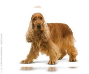 Small #7 Breed Cocker Spaniel image