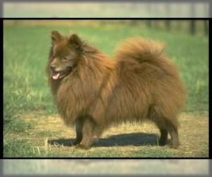 Image of German Spitz Breed