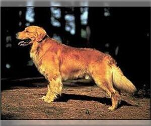 Small #4 Breed Golden Retriever image